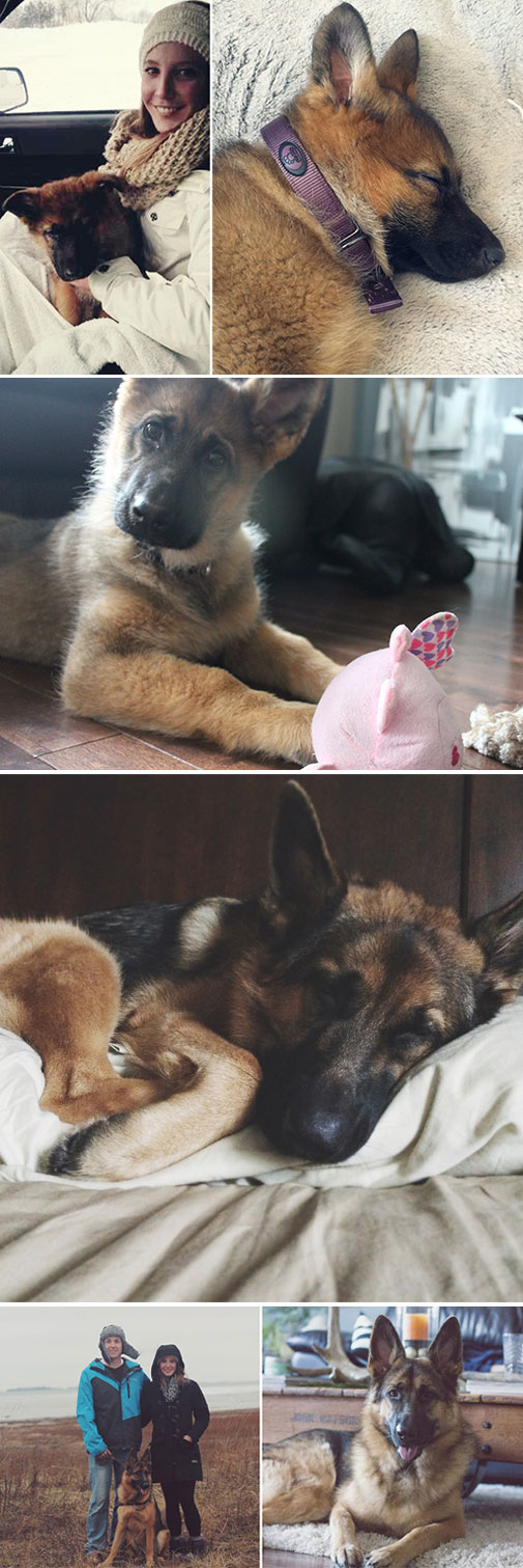 Beautiful-German-Shepard-Purebred
